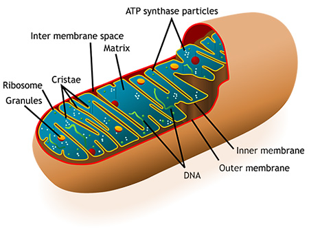 Mitochondria illustration
